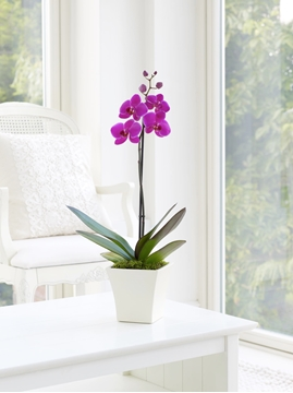 Picture of Pink Phalaenopsis Orchid