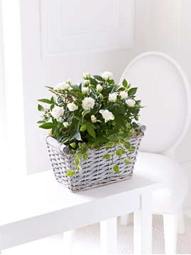 Picture of Cream Rose Sympathy Basket