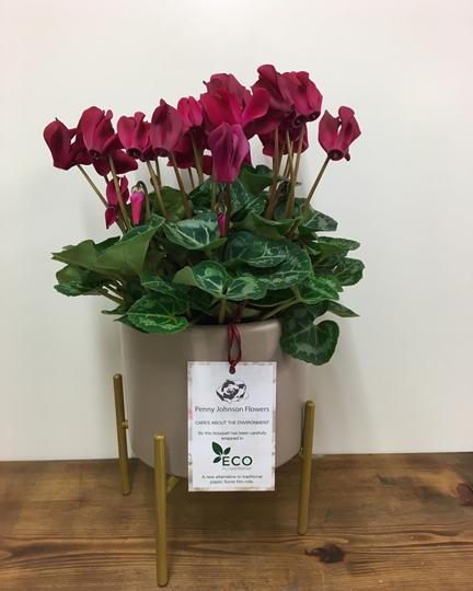 Picture of Marsalla Cyclamen Plant