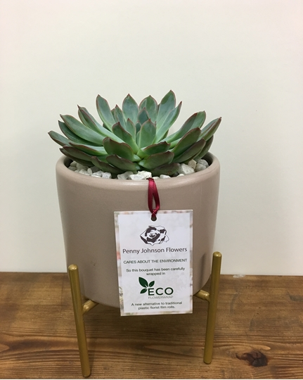 Picture of Chic Echevaria Planter