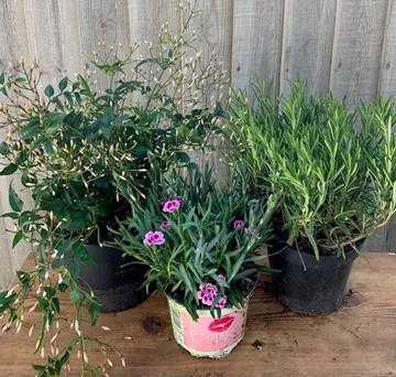 Picture of scented garden plants