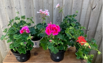 Picture of pelargonium mix