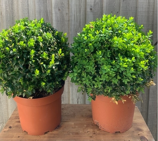 Picture of Buxus