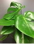 Picture of Monstera Indoor Plant