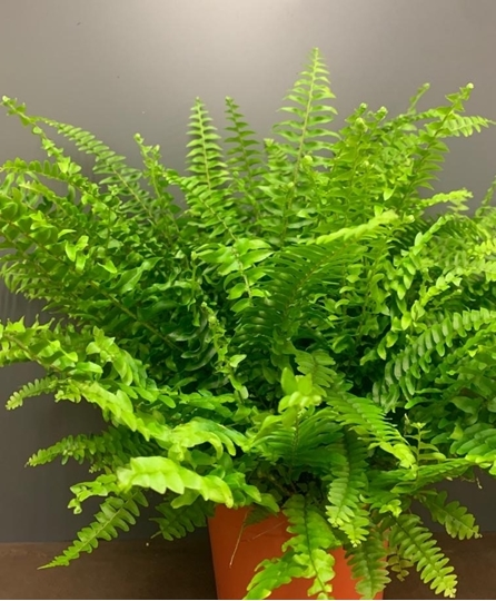 Picture of Boston Fern Indoor Plant