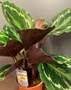 Picture of Calathea Roseopicta indoor plant
