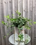 Picture of English Ivy Plant